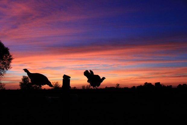 turkeys sunset